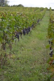 Grape rows 2